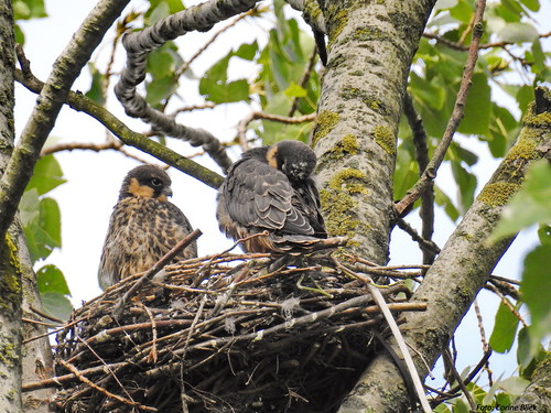 Two juvenile Hobby's on a nest