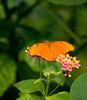 Blijdorp-20170802-012.jpg (andrespeelmans) Tags: flower milkweed mothsandbutterflies insect brushfootedbutterfly butterfly juliaheliconian