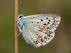 Chalkhill Blue (ArtFrames) Tags: olympus macro wings chalkdownland polyommatuscoridon grass new insect uk lepidopterist colour blue butterfly chalkhillblue