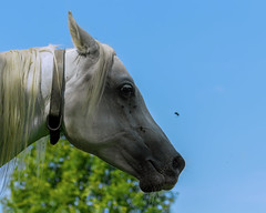 Oh yeah, another fly ! Welcome on bord ! (FocusPocus Photography) Tags: pferd horse araber araberstute arabian arab tier animal fliegen flies marbach hauptundlandgestüt