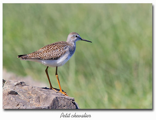 Petit chevalier / Lesser Yellowlegs  153A7335