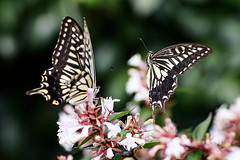 Swallowtail Butterflies (Johnnie Shene Photography) Tags: swallowtailbutterfly swallowtail butterfly papiliomachaon papilio lepidoptera nature natural wild wildlife livingorganism tranquility adjustment interesting awe wonder fulllength depthoffield bokeh flapping wings limbs midair fly flying flight inflight sideview twoanimals animal insect bug peace photography horizontal outdoor colourimage fragility freshness nopeople foregroundfocus korea asia motion behaviour soaring folding feeler shape rearview macro closeup magnified plant canon eos80d 80d tamron 90mm f28 11 lens 호랑나비 나비 곤충 접사 매크로 비행