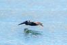 Pelican skimming the water (mylesfox) Tags: pelican skimming water ocean