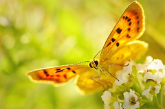 Golden Dancer (Yani Dubin) Tags: butterfly alyssum orange christchurch plant commoncopper green newzealand wildflower tokinaaf100mmf28macro spring bankspeninsula macro animal southisland bug sharp endemic macrophotography bright d7000 insect canterburycopper gimp flower white bokeh lycaena colour arthropod lobularia newzealandnative darktable yellow canterbury taylorsmistake basking lepidoptera nature maritima native gold highkey black color
