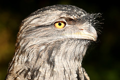 Tawny Frogmouth ♂ Podargus strigoides (Roger Wasley) Tags: tawny frogmouth podargusstrigoides male bird