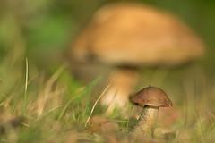 Supersize me (Richard Holding) Tags: bolet champignon m43 mushroom olympus omd