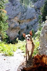 Meadow Pupper (Jenna Stirling) Tags: americanpitbullterrier pocketpit pitbull americanstaffordshireterrier amstaff dog canine k9 hiking nevada adventure canon canonrebel
