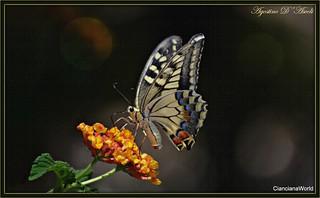 Farfalla di fine Agosto - 2017