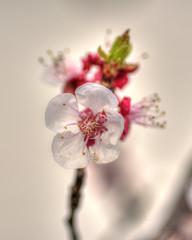 bokeh blossom (Just Ron ;)) Tags: nikon bokeh imageron nature macro blossom flower tokina