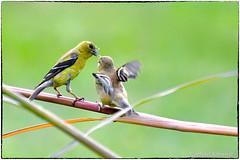Goldfinch closing the season (RKop) Tags: birdfeederblind raphaelkopanphotography californiawoodspark cincinnati ohio d500 200500mmf56edvrzoom nikon