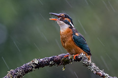 Down the Hatch (Mr F1) Tags: kingfisher alcedoathis johnfanning fish lunch outdoors nature rain dull drab lowlight uk scotland detail wild