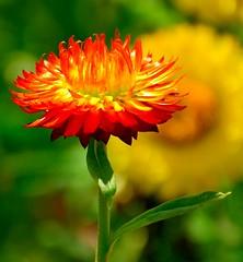 Burning Desire (barbara_donders) Tags: flower bloem nature natuur bokeh red rood geel yellow green groen prachtig mooi magical beautifull verlangen brandend