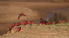 IMGP6299 Southern carmine bee-eater (Claudio e Lucia Images around the world) Tags: gruccionecarminiomeridionale bird beeeater zambia zimbabwe southluangwa sigma