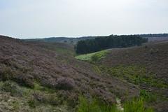 nationaal park veluwezoom_D717735 (Vogelmelk) Tags: posbank veluwe veluwezoom heide nature natuur landschap landscape nederland