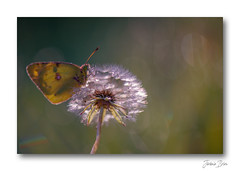 Pause douceur ... (jeremie.brion) Tags: nature macro proxy papillon fleur butterfly