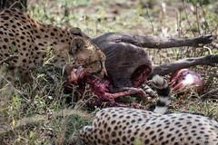 20170916 - Tanzania (862 von 1444).jpg (Jan Balgemann) Tags: big five bigfive tanzania afrika animals serengeti wildlife