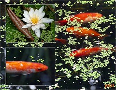 goldfische im teich good ein fall von gegen goldfische im teich with goldfische im teich. Black Bedroom Furniture Sets. Home Design Ideas