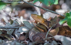 Gravid Northern Copperhead (Lotterhand) Tags: northern copperhead