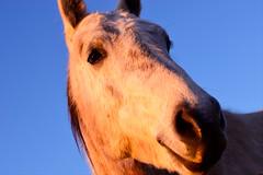 Hi!!! (luenreta) Tags: animal horse caballo sunset 7dwf fauna 50mm closeup