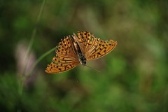 Falter (Hugo von Schreck) Tags: hugovonschreck falter butterfly macro makro schmetterling insect insekt canoneos5dsr tamron28300mmf3563divcpzda010 greatphotographers