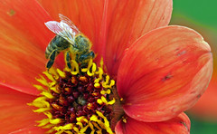 pollinator at work (Simple_Sight) Tags: bee insect pollen flower blossom red yellow closeup macro garden green ngc war