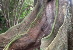 Root waves (jonathan charles photo) Tags: tree fig roots buttress waves botanical gardens bermuda abstract art photo jonathan charles topf75