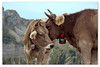 Rumours (Swissrock-II) Tags: cow cows ladys swisscows rumours niederhorn alps alpen nikon d700 cowbells mountains berge august 2017 switzerland schweiz cantonofberne