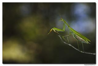 Mantis Religiosa - Mante Religieuse #6