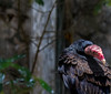 20170820-0I7A0490-Cathartes (siddharthx) Tags: singapore sg cathartes birdsofprey canon7dmkii nature ef100400mmf4556lisiiusm jurongbirdpark aviary bigbirds largebirds