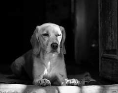 (sopo_chinchaladze) Tags: dog mydog blackandwithe blackwhite 50mm 50mm18 spanador spanadordog