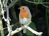 Robin in the Hedge (Skoda Girl) Tags: robin redbreast red bird nature wildlife feathers beak beady eye wings tail branch leaf green brown grey twigs