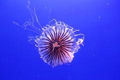 IMG_7185 (AndyMc87) Tags: valencia jelly fish blue bokeh canon eos 6d 2470 l qualle wasser l'oceanogràfic zones humides aviari loceanogràfic ciutat arts ciències unterwasser