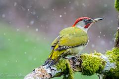 pitoreal (barragan1941) Tags: aves cremenes fauna pajaros pitoreal