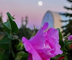 Pink roses at moonrise on Bluebird Estates (peggyhr) Tags: peggyhr moon rose pink coverall trees dusk canada bokeh bluebirdestates alberta dsc07266azz niceasitgets~level1 carolinasfarmfriends