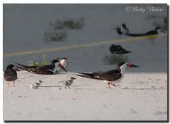Black Skimmers and Chicks (Betty Vlasiu) Tags: black skimmers chicks