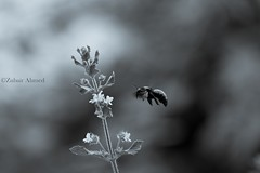 Flying Bee (Zubair Ahmed_1120) Tags: carpenter bee insect plant monochrome selenium bokeh background flower flying aerial creature black white beautiful garden