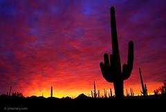 Sonoran Dawn (oscarzepeda3000) Tags: silhouette flora tree carnegiegigantea cactus saguaro giantsaguarocactuscarnegieagigantea color orange tucson az usa