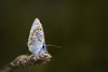 Plebejus argus (stmlphoto) Tags: blue silver plebejusargus butterfly macro insect wheat stack