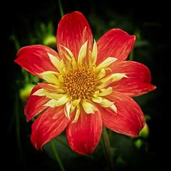 Manificent Bloom (MrBlueSky*) Tags: flower plant petal garden nature outdoor horticulture colour chelseaflowershow london canoneos canonm6 canon