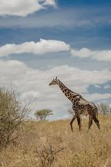 MAASAI GIRAFFE (dmberman1) Tags: eastafrica wildlife giraffe tarangirenationalpark animals tanzania africasafari