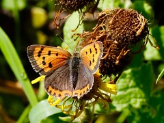 Small Copper butterfly (Lycaena phlaeas) (mickchatman) Tags: smallcopper lycaenaphlaeas lycaena