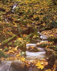 autumn (Dirk Hoffmann Fotografie) Tags: autumn fall saxony saxon switzerland saxonswitzerland saechsische schweiz forest stream creek leaves