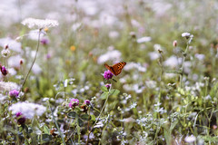 summer.mood (_andrea-) Tags: sonyalpha7mii sonyzeiss f14 50mm butterfly carlzeiss zeisslenses objektiv mount summer meadow
