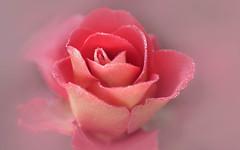 cornet de glace à la fraise (christophe.laigle) Tags: rose rouge xf60mm nature flower red fleur macro fraise pink cornet fuji bokeh xpro2 glace christophelaigle ice