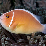 Pink Anemonefish - Amphiprion perideraion thumbnail