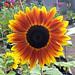 Sunflower+%27Harlequin%27