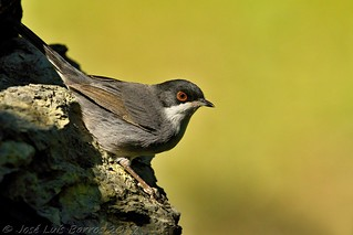 Toutinegra-dos-valados | Sylvia melanocephala | Sardinian warbler
