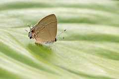 Calycopis lerbela (Rodrigo Conte) Tags: calycopis lerbela calycopislerbela haistreak butterfly borboleta insect inseto insecta brasil brazil brasilia brasilemimagens fantasticnature buzznbugz lycaenidae theclinae eumaeini