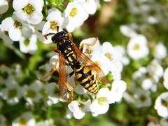Paper Wasp (starmist1) Tags: wasp paperwasp alyssum carpetofsnow strawberrypot frontyard flowergarden bug stingingbug september autumn