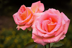 Two (Jez22) Tags: beautiful rose flower beauty nature floral fresh roses romantic closeup color flowers bloom pink orange petals bright copyright jeremysage england flora blooming weather rain wet raindrop freshness water